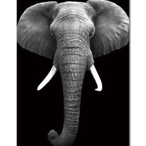 Posters Obraz Slon africký (B&W)