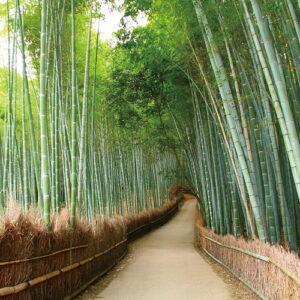 Posters Skleněný Obraz Bambusový les - Cesta