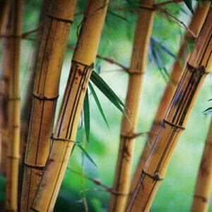 Posters Skleněný Obraz Bambus - Svěží příroda