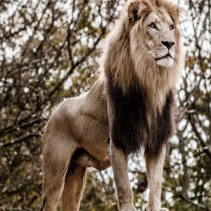 Posters Skleněný Obraz Lev - Král zvířat