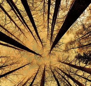 Posters Skleněný Obraz Les - Zlaté slunce