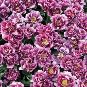 Posters Fototapeta Blossomed Flowers Purple 368x254 cm - 115g/m2 Paper - Posters