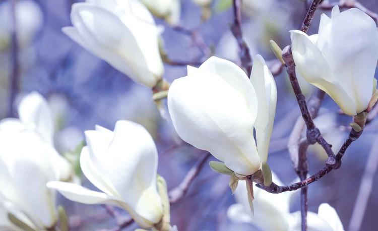 Posters Fototapeta Flowers Magnolia Nature 254x184 cm - 115g/m2 Paper - Posters