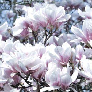 Posters Fototapeta Flowers Magnolia 254x184 cm - 115g/m2 Paper - Posters
