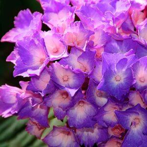 Posters Fototapeta Flowers Hydrangea Purple 416x254 cm - 130g/m2 Vlies Non-Woven - Posters
