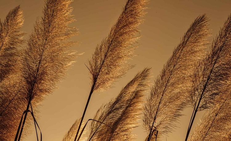 Posters Fototapeta Grasses Blowing In The Wind 104x70.5 cm - 130g/m2 Vlies Non-Woven - Posters