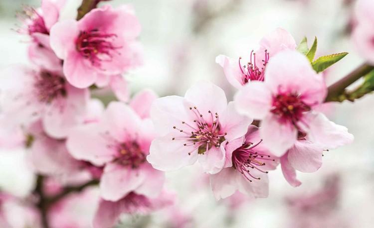 Posters Fototapeta Cherry Blossom Flowers 152.5x104 cm - 130g/m2 Vlies Non-Woven - Posters