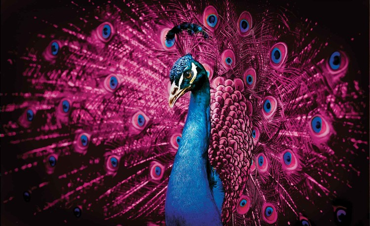 Posters Fototapeta Peacock Bird Pink Feathers 254x184 cm - 115g/m2 Paper - Posters