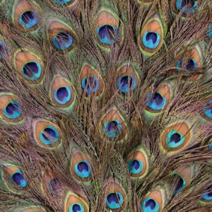 Posters Fototapeta Peacock Feathers 152.5x104 cm - 130g/m2 Vlies Non-Woven - Posters