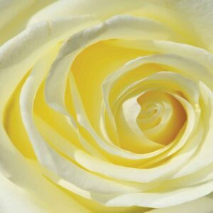 Posters Fototapeta Rose Flower White Yellow 312x219 cm - 130g/m2 Vlies Non-Woven - Posters