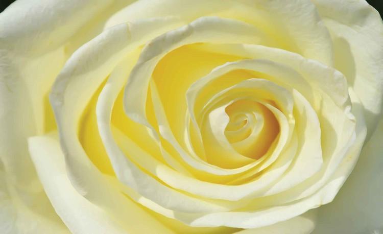 Posters Fototapeta Rose Flower White Yellow 312x219 cm - 130g/m2 Vlies Non-Woven - Posters