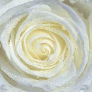 Posters Fototapeta Rose Flower White 152.5x104 cm - 130g/m2 Vlies Non-Woven - Posters