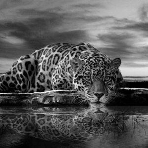 Posters Fototapeta Leopard Feline Reflection Black 152.5x104 cm - 130g/m2 Vlies Non-Woven - Posters