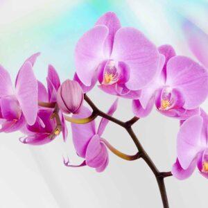 Posters Fototapeta Flowers  Orchids 184x254 cm - 115g/m2 Paper - Posters
